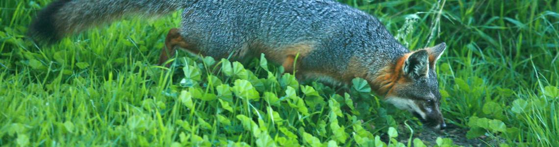 Santa-Cruz-Island-fox-doug-Mangum