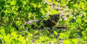 island fox channel islands national park ventura