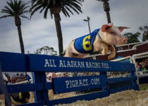 ventura county fair pig races