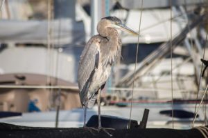 great heron ventura harbor river