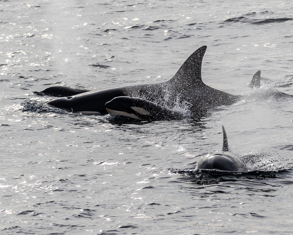 Orca whales with babies