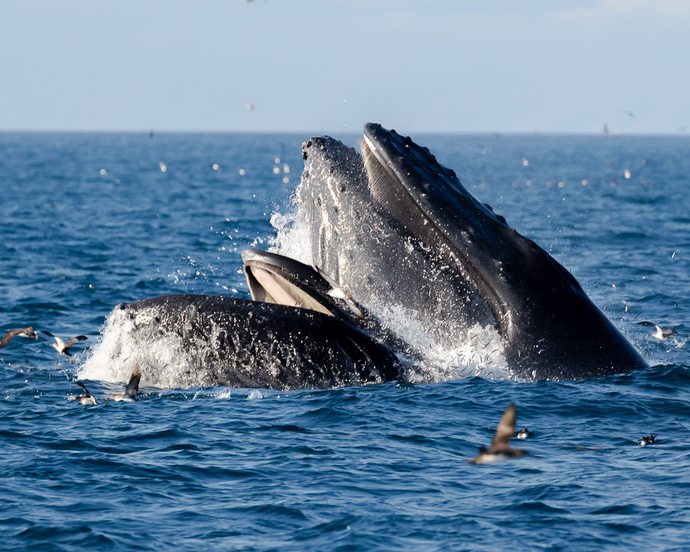 Gray whales in Ventura