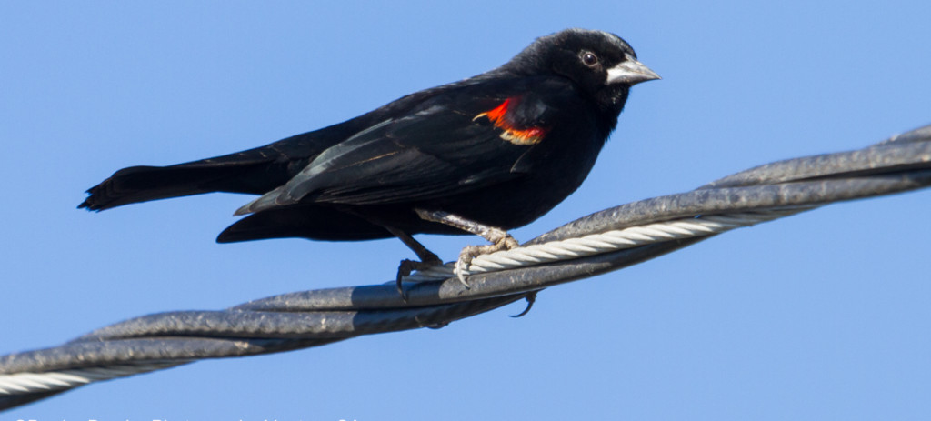 Red-winged blackbird. Photo by Denise Dewire.