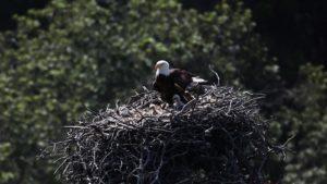channel islands national park ventura bald eagles