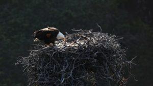 channel islands national park bald eagles
