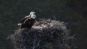 channel islands ventura bald eagles