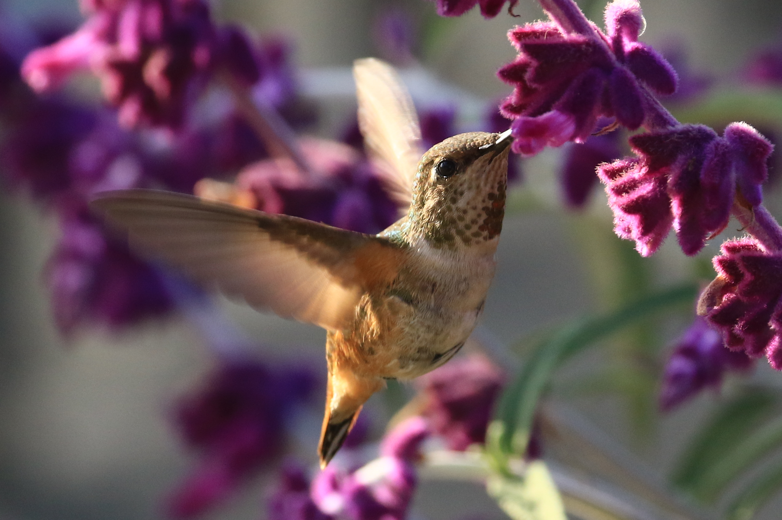 Hummingbird at Olivas Adobe