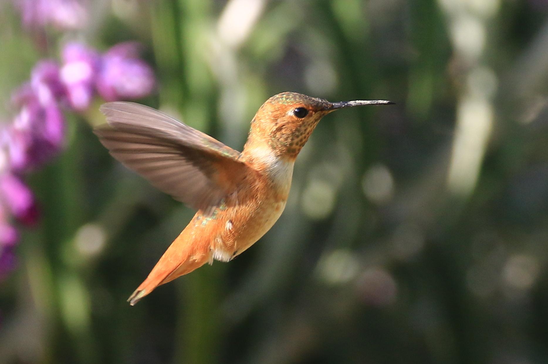 Hummingbird in Ventura
