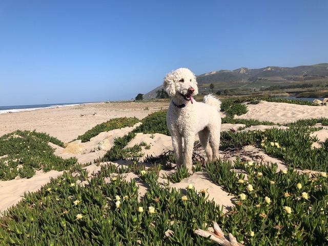 Cali the dog in Ventura California