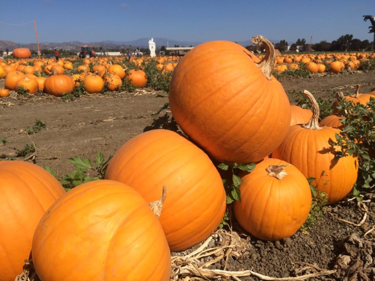 ventura pumpkin