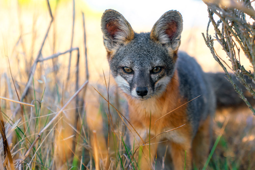 Island Fox at Santa Rosa Island