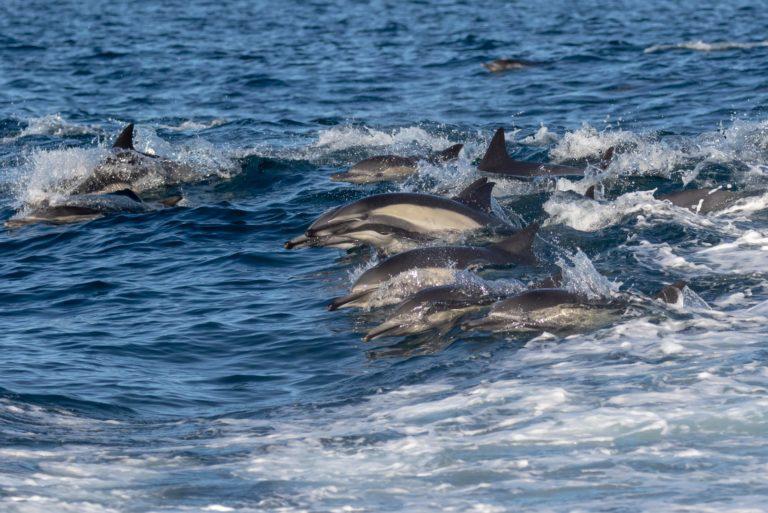 Pacific White Side Dolphins _Lottie Keenan (1)
